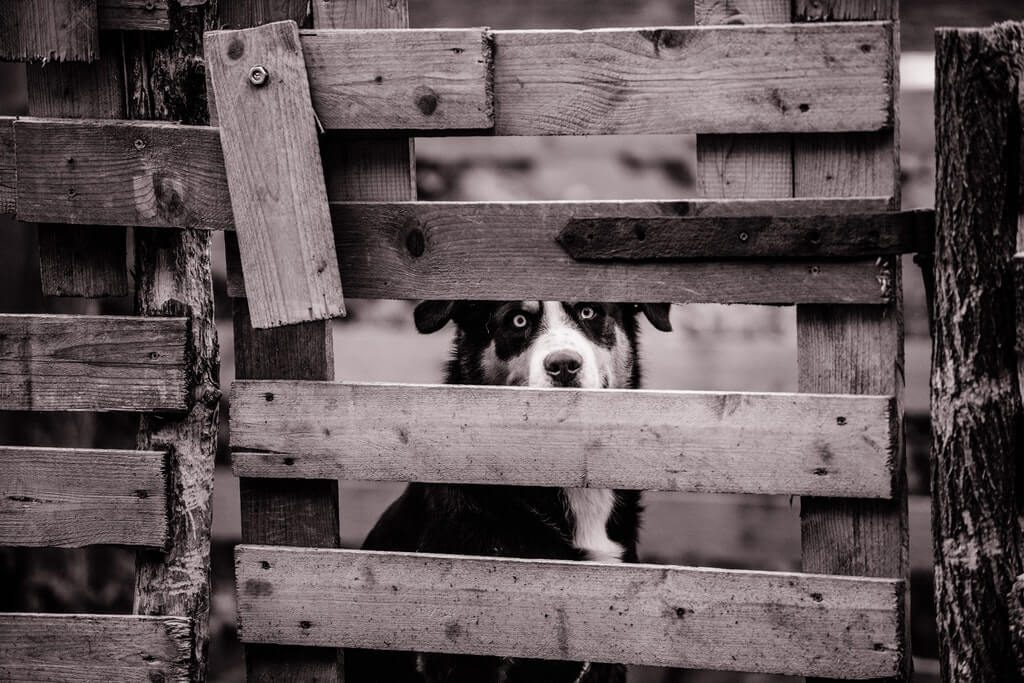 Adult Kelpie Dog Behind Wooden Fence