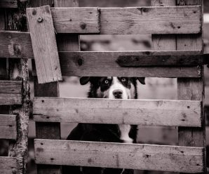 Adult Kelpie Dog Behind Wooden Fence