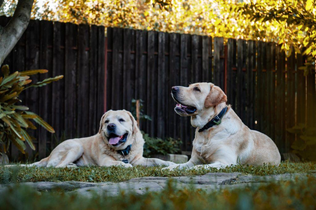 Labrador Retriever Dogs. Pet Tech Products.